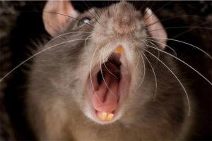 Вред от укуса крысы