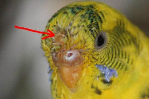 Симптомы перьевого клеща у попугая