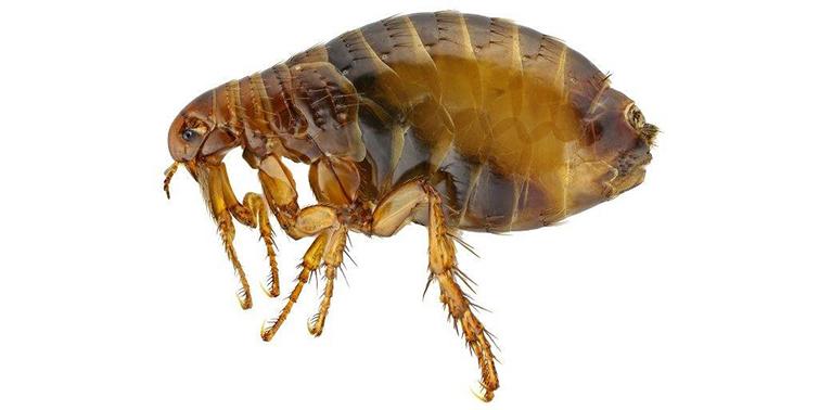 Фото - Как выглядит лосиная муха?