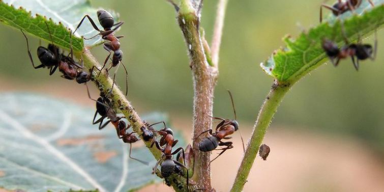 Признаки появления муравьев
