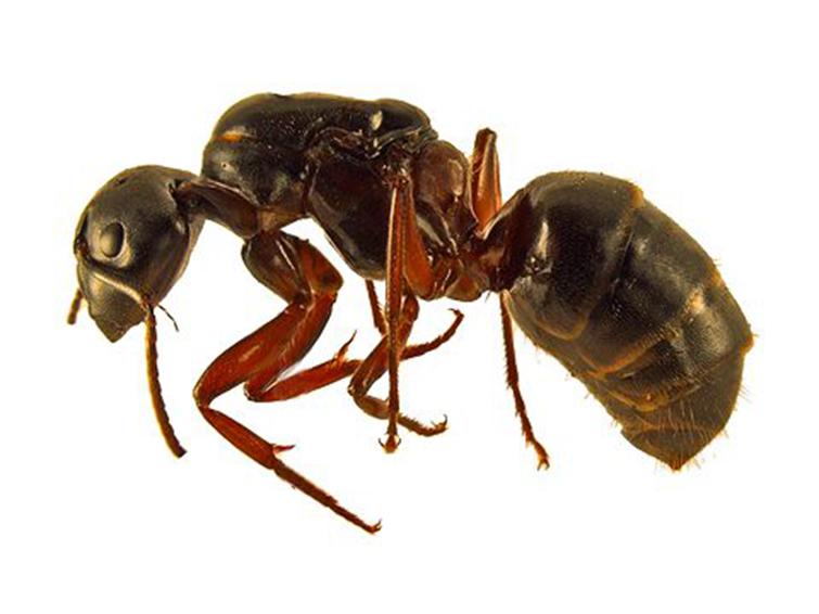 Особенности красногрудого муравья древоточца