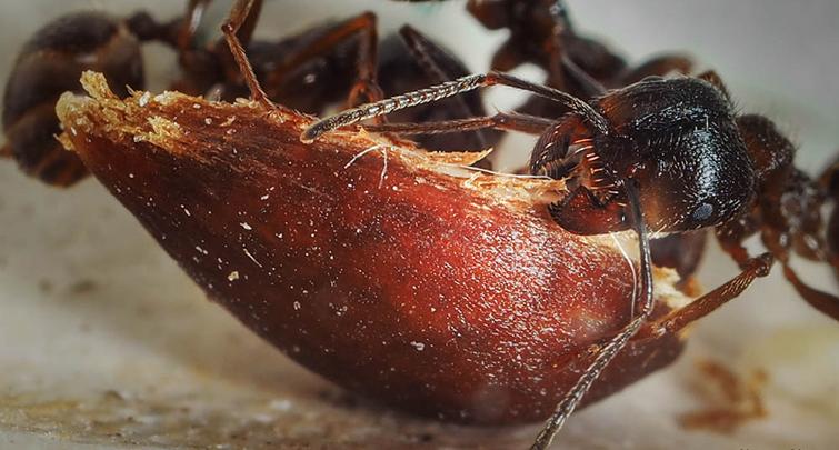 Питание красного муравья