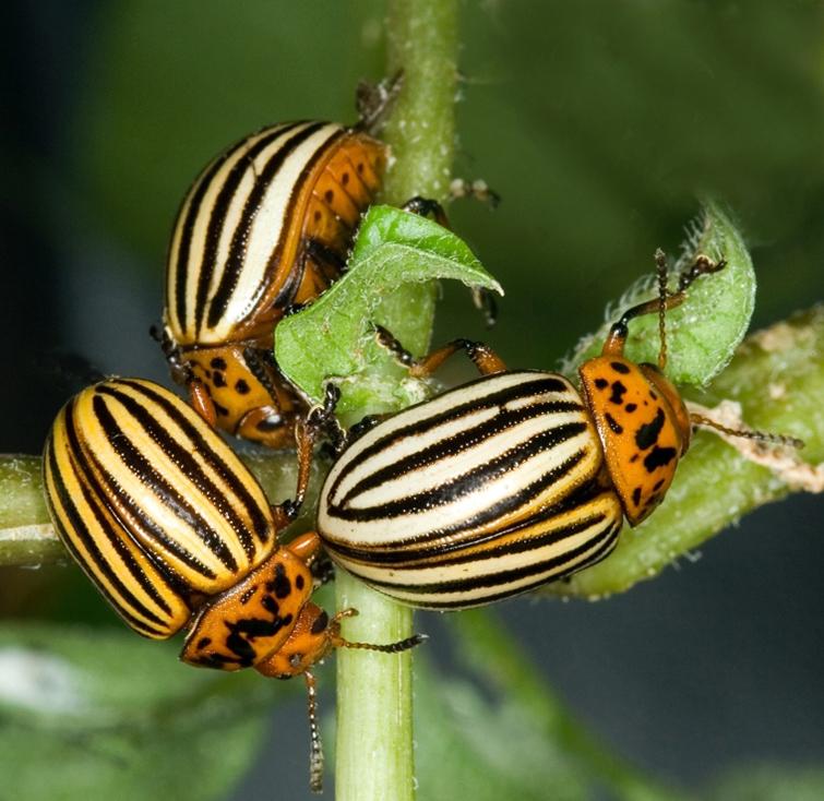 Вредитель растений (колорадский жук)