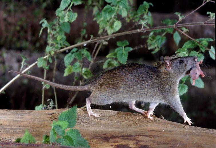 Новорожденный крысенок и самка крысы
