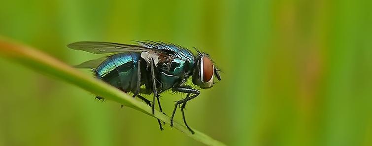 Серая муха