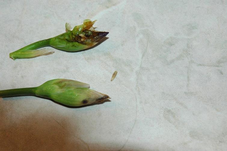 Ирисы пострадавшие от ирисовой мухи