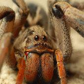 Как выглядит паук сенокосец (долгоножка), опасен и методы борьбы с вредителем
