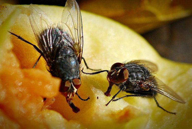 Чем опасны мухи