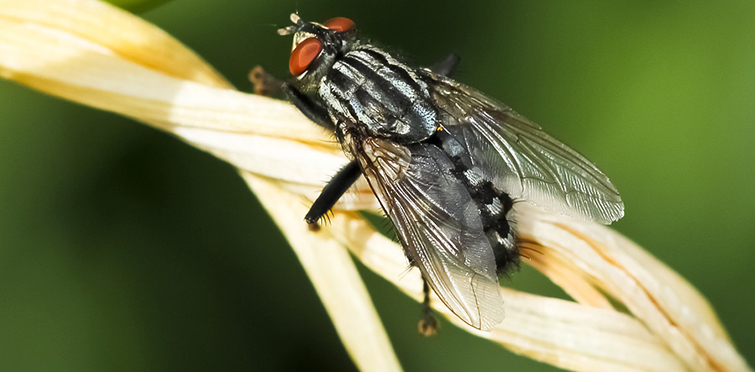 Внешний вид серой мясной мухи