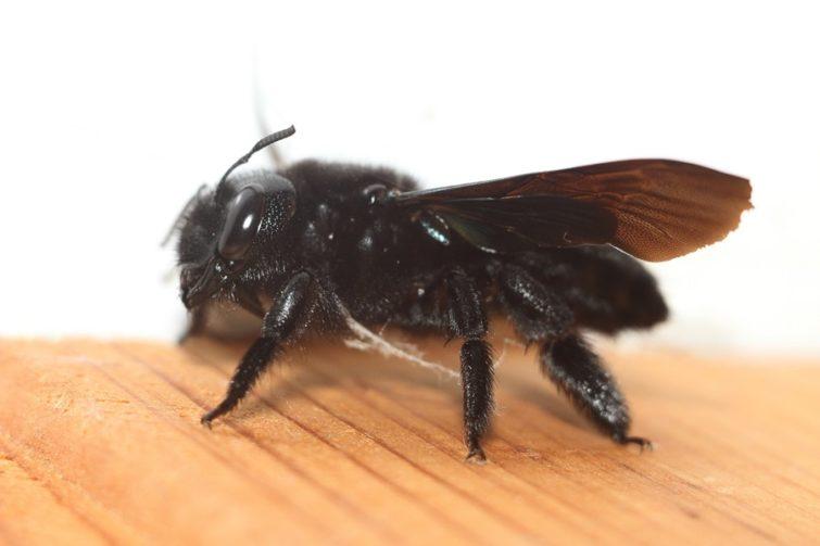 Внешний вид черного шершня