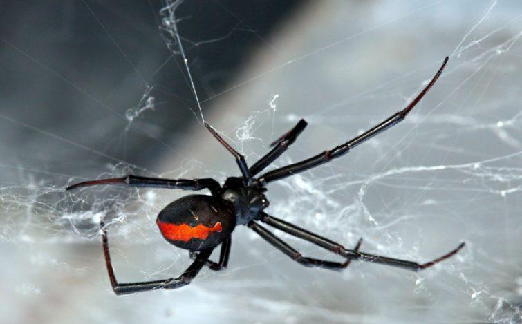 Красноспинный паук