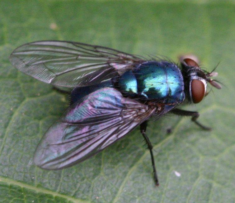 Внешний вид мясной мухи