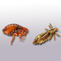 Чем отличаются блохи от вшей — Pro parazity