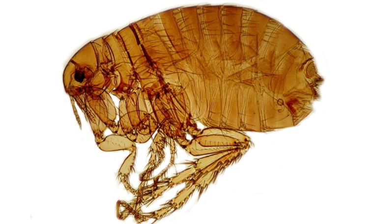 Половые блох в доме или квартире: средства и методы для эффективной борьбы с насекомыми