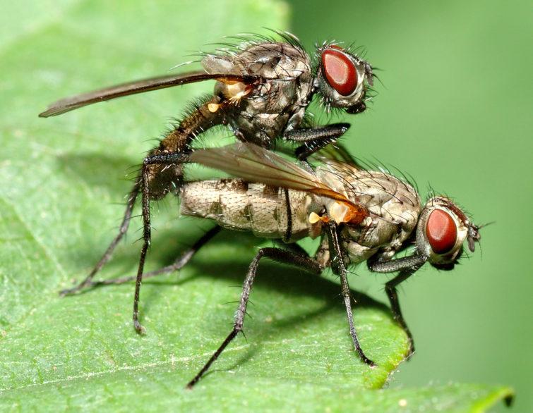 Как происходит размножение мух