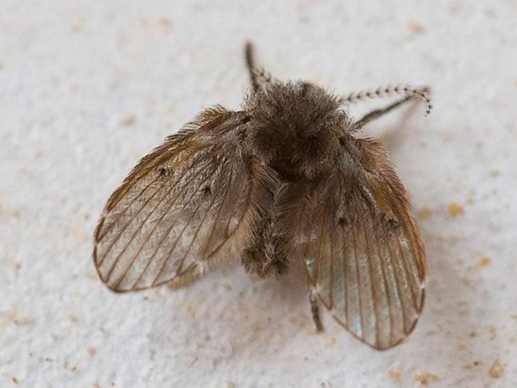 Канализационная муха