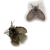 Как вывести канализационных мух или бабочниц