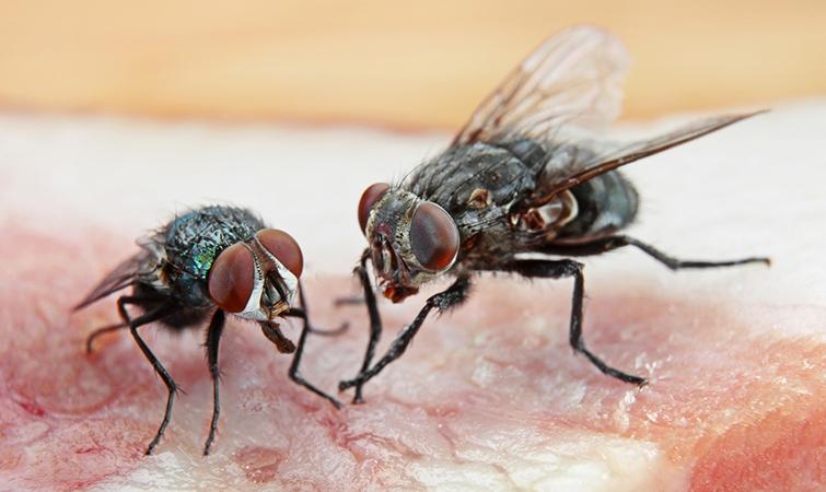 Процесс питания у мух