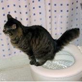 Как вывести стойкий запах кошачьей мочи с ковровых покрытий?