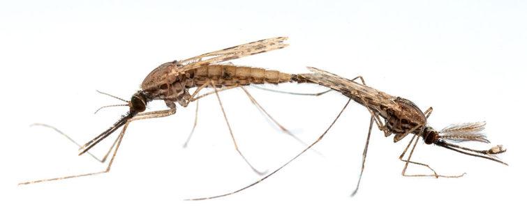 Процесс размножения комаров