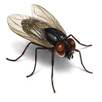 Как размножаются мухи дрозофилы