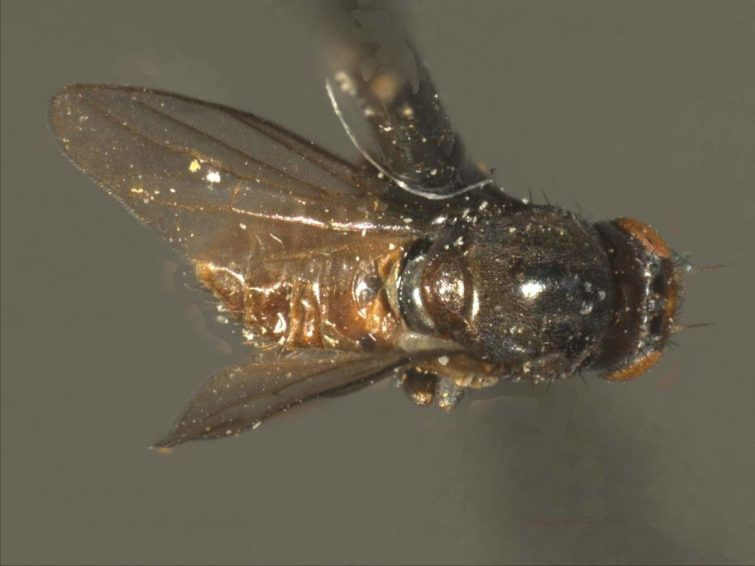 Как вредит шведская муха