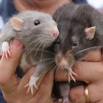 Чем отличаются мыши от крыс? Основные признаки