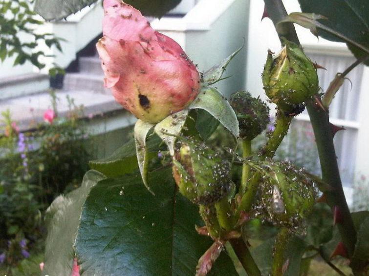 Почему появляется тля на розах