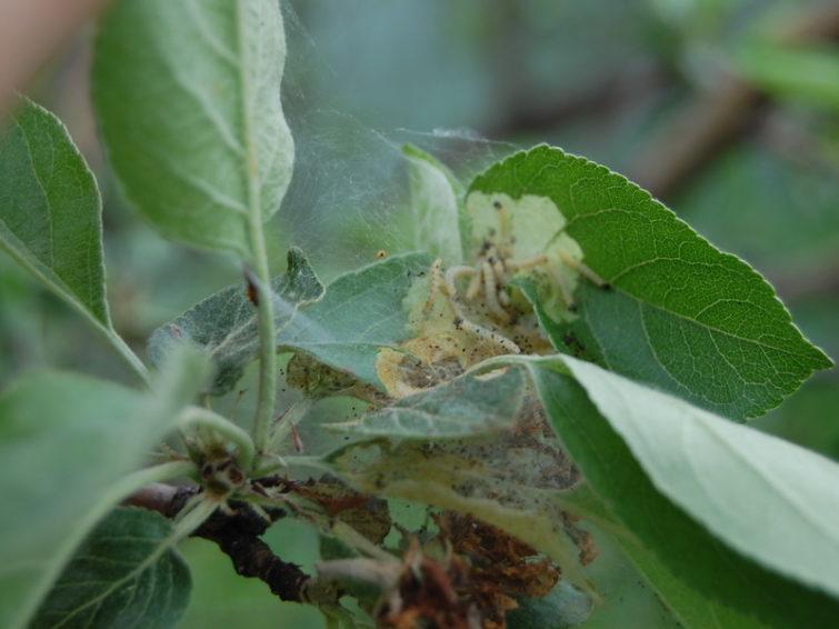 Гусеницы в саду