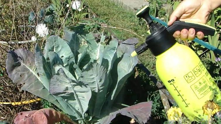 Обработка химическими средствами, капусты