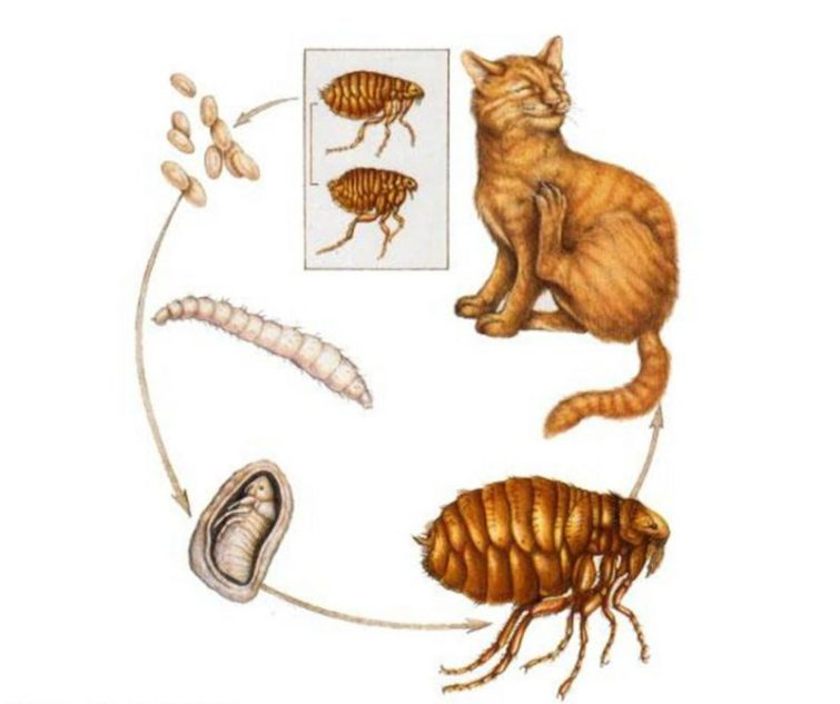 Как блохи размножаются на кошках