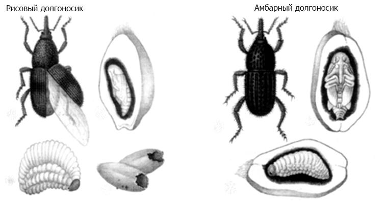 Жизненный цикл и размножение