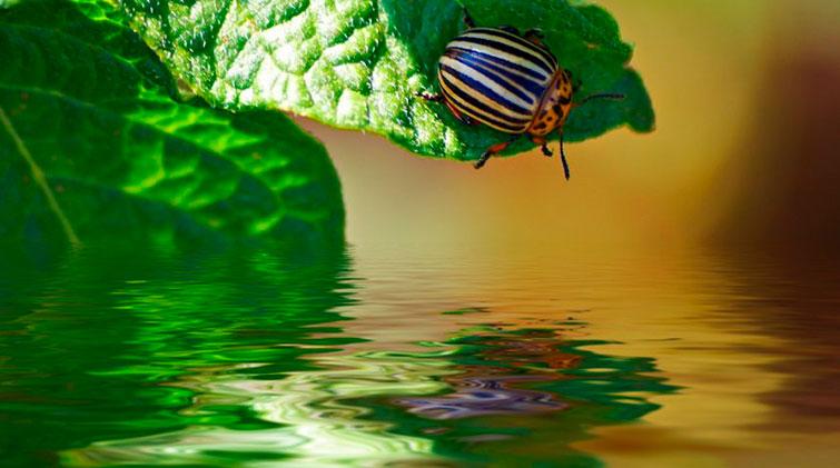 Кто такой колорадский жук и откуда берется
