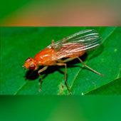 Как быстро избавиться от морковной мухи