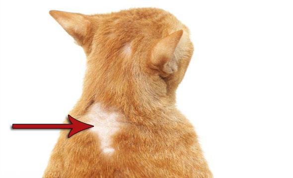 Аллергическая реакция на ошейник у кота