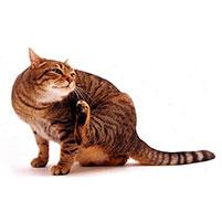 Вши у кошек: как выглядят и как вывести паразитов?