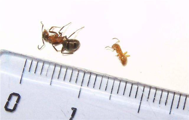 Матка и обычный муравей