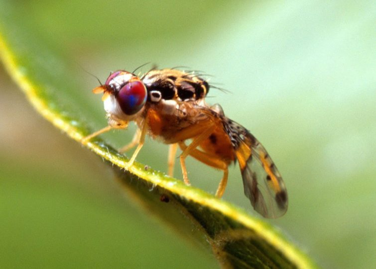 Дынная муха
