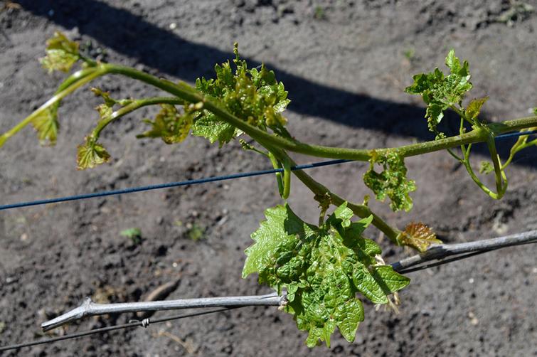Виноград пораженный паутинным клещом