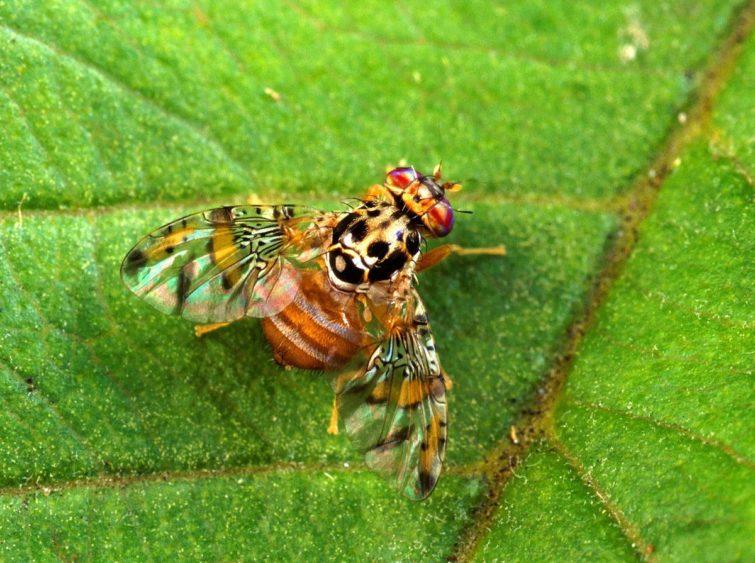 Облепиховая муха