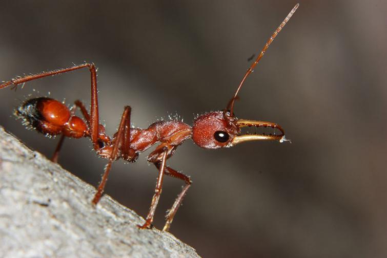 Красный муравей-бульдогКрасный муравей-бульдог