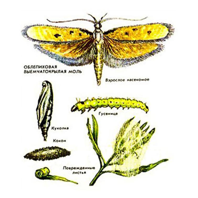 Жизненный цикл и размножение облепиховой мухи