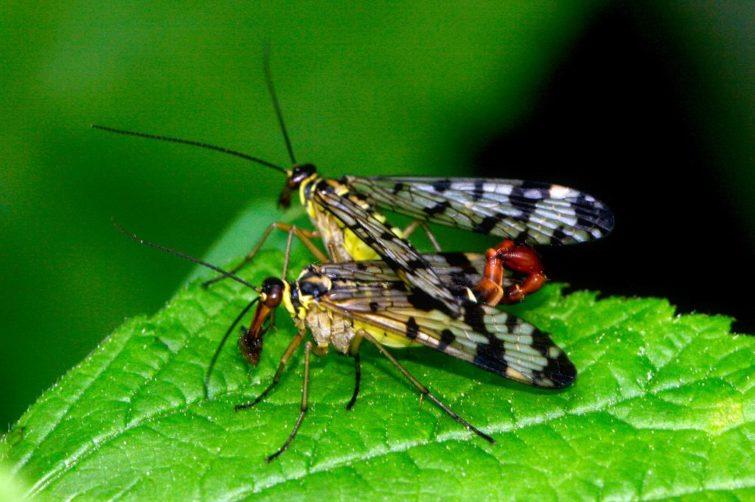 Жизненный цикл и размножение, скорпионницы