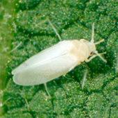 Белая тля на растениях: как быстро избавиться?