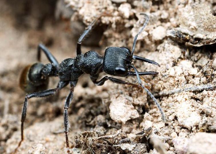 Тропические муравьи