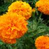 Цветки бархатцев