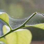 Как избавиться от паутинного клеща на комнатном лимоне