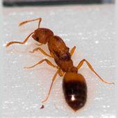 Как выглядит матка домашнего муравья: жизненный цикл и фото