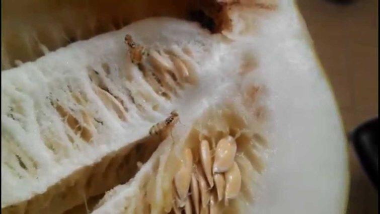 Можно ли есть дыню пораженную дынной мухой?
