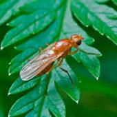 Как эффективно бороться с морковной мухой на грядке